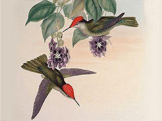 Über 60 gezeichnete Bilder mit Vogelmotiven vom Ornithologen John Gould
